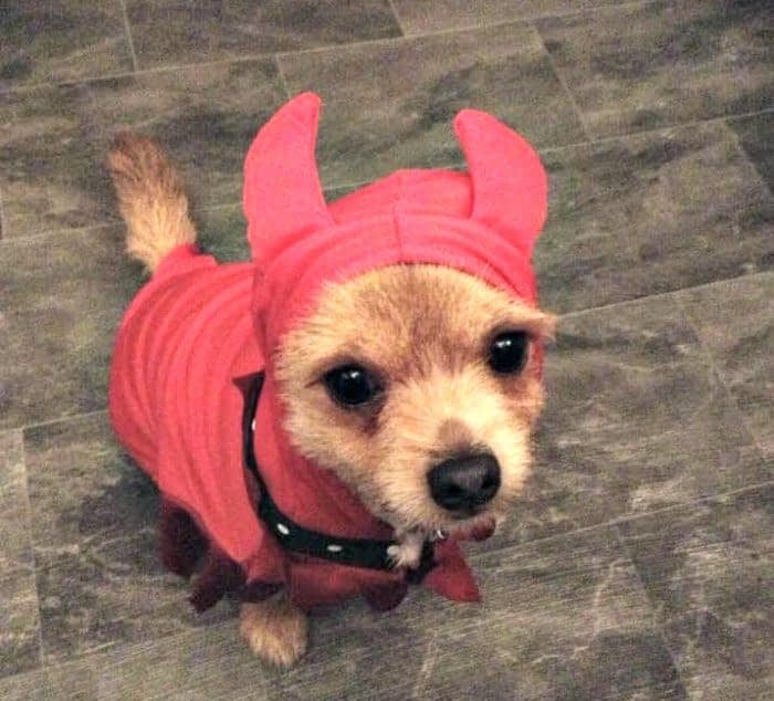 chihuahua in devil costume