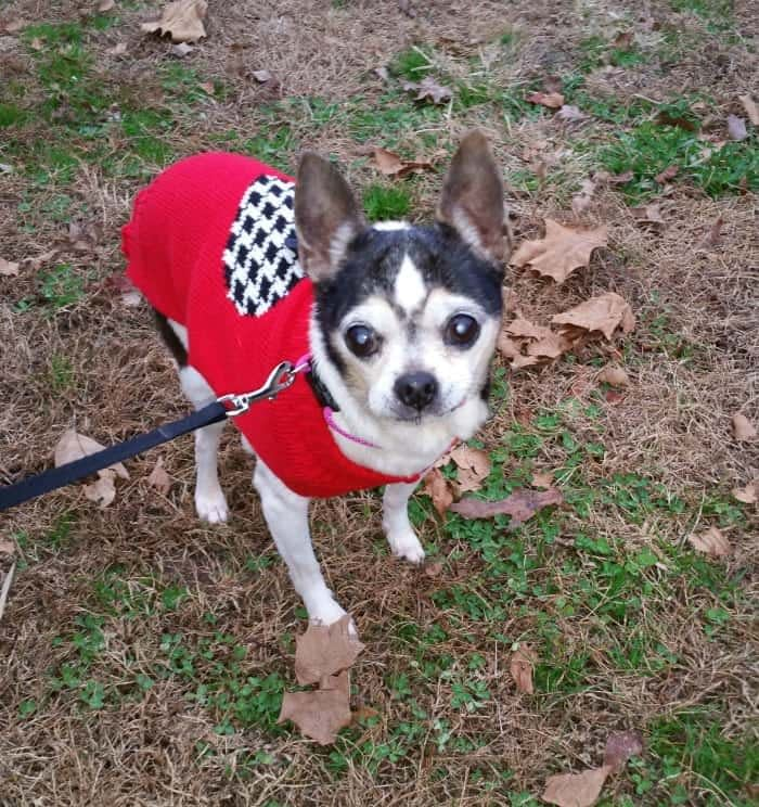 chihuahua in red coat