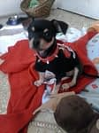 Carrie's Chihuahua Story