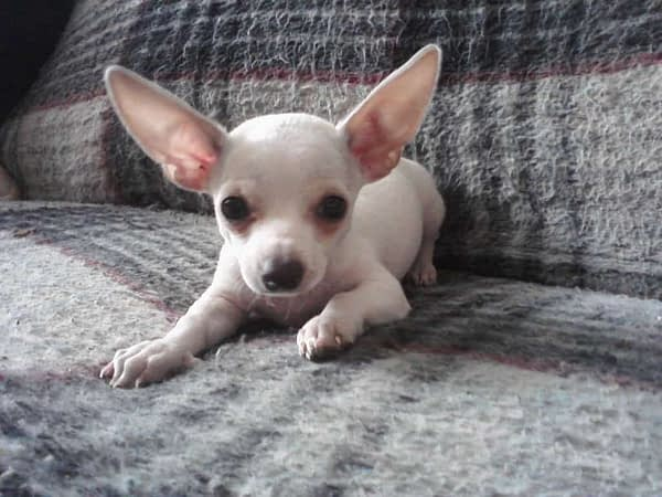 smooth coated Chi
