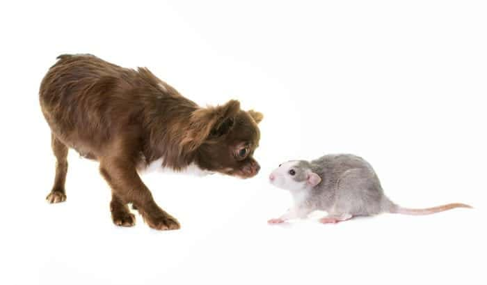 chihuahua with a rat
