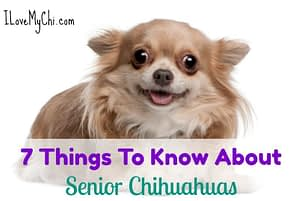 7 Things To Know About Senior Chihuahuas