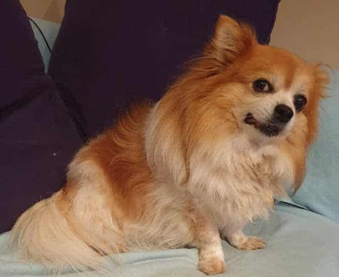 fawn long haired chihuahua