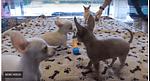 Four Tiny Female Chihuahuas Playing