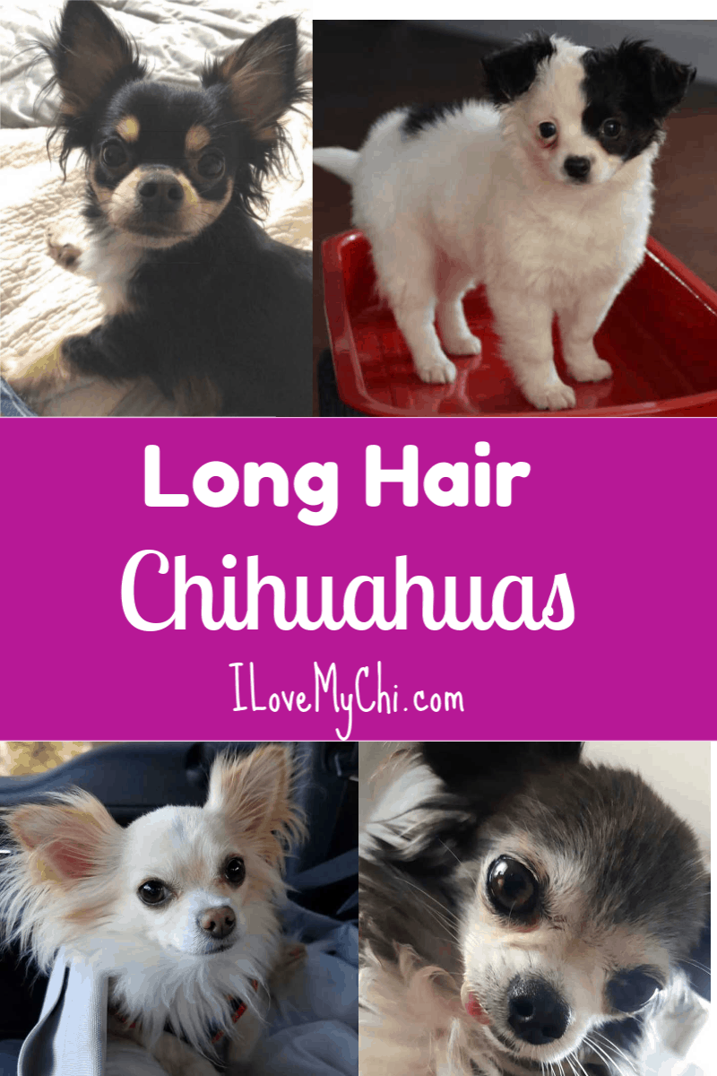 Long Hair Chihuahuas