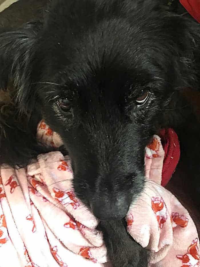 face of black dog