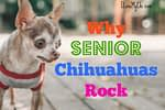 Why Senior Chihuahuas Rock