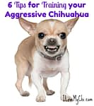 6 Tips for Training your Aggressive Chihuahua