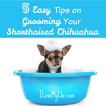5 Easy Tips on Grooming Your Shorthaired Chihuahua