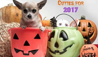 Chihuahua Halloween Cuties for 2017