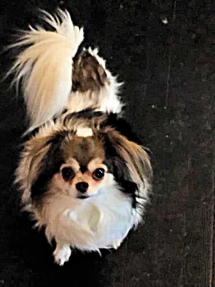 tri color long hair chihuahua