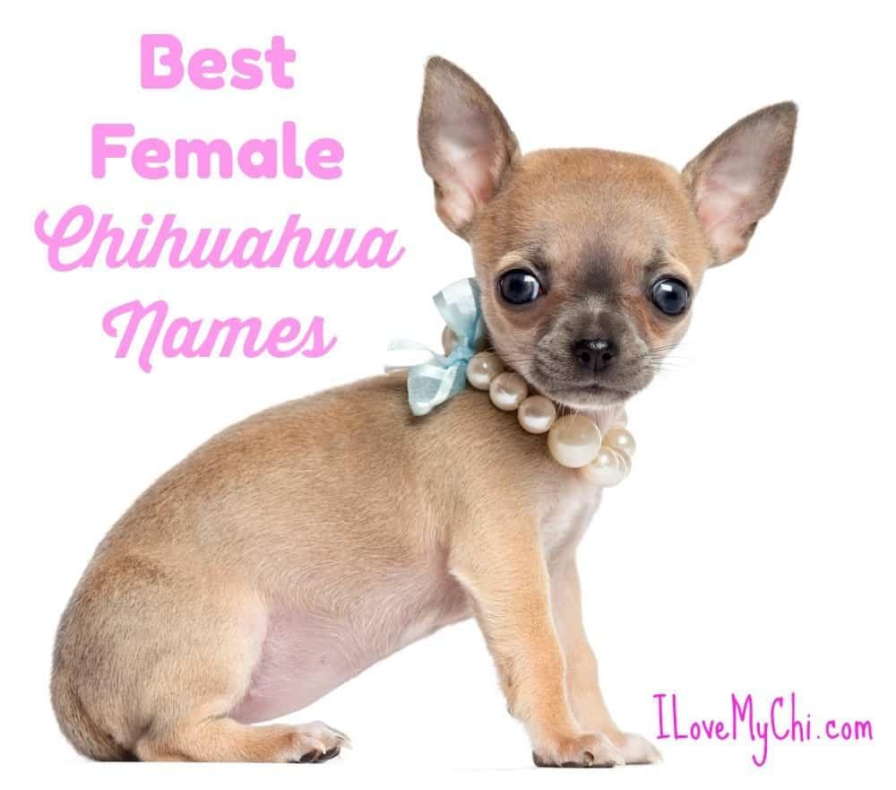 Girl Chihuahua Names