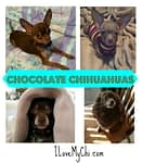 Chocolate Chihuahuas