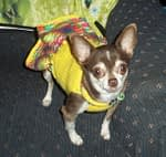 Kim's Chihuahua Story about her dog Pea