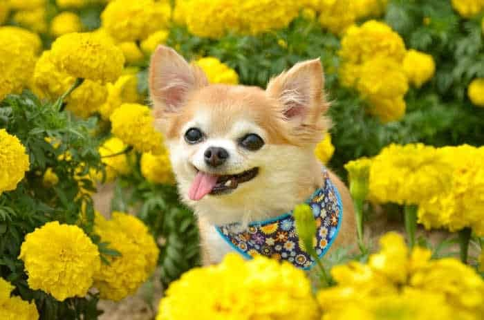 chihuahua siting in yellow flowers