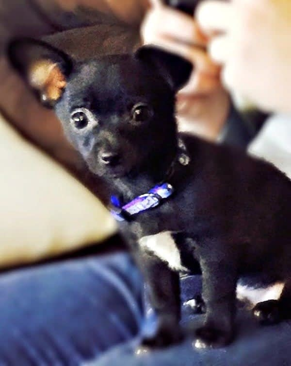 Shadow the Chihuahua